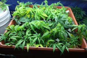 Cannabis_Clones_in_Box